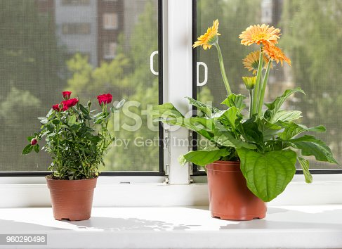 Blossoming indoor flowers gerbera and roses in flowerpots on windowsill on sunny summer day. Mosquito net on windows.