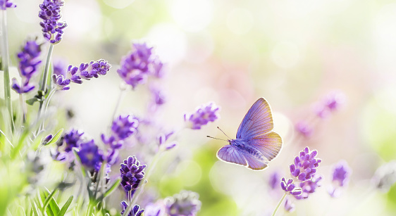 Blossoming Lavender and butterfly summer background
