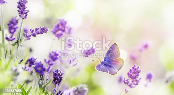 Blossoming Lavender flowers with flying butterfly background . Lavender field at lit by morning sunlight. Purple flowers of lavender. Summer background.