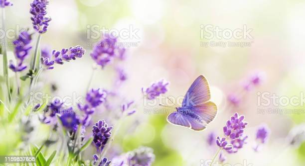 Blossoming lavender and butterfly summer background picture id1159837658?b=1&k=6&m=1159837658&s=612x612&h=0kdvp7m5txp6irclgaxaztojtsss4ij077bzze2s50s=