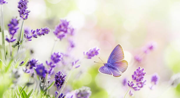 blossoming lavender and butterfly summer background - arto di animale arto foto e immagini stock