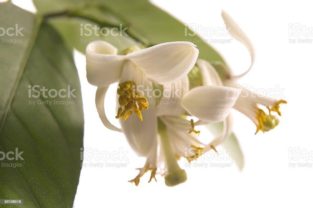 blossoming lemon tree royalty-free stock photo