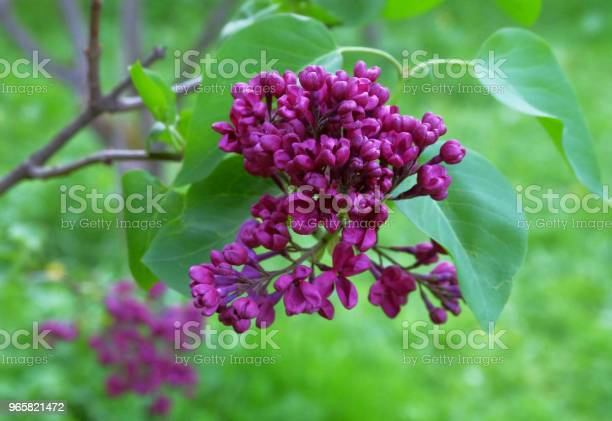 Blossoming Li Stock Photo - Download Image Now