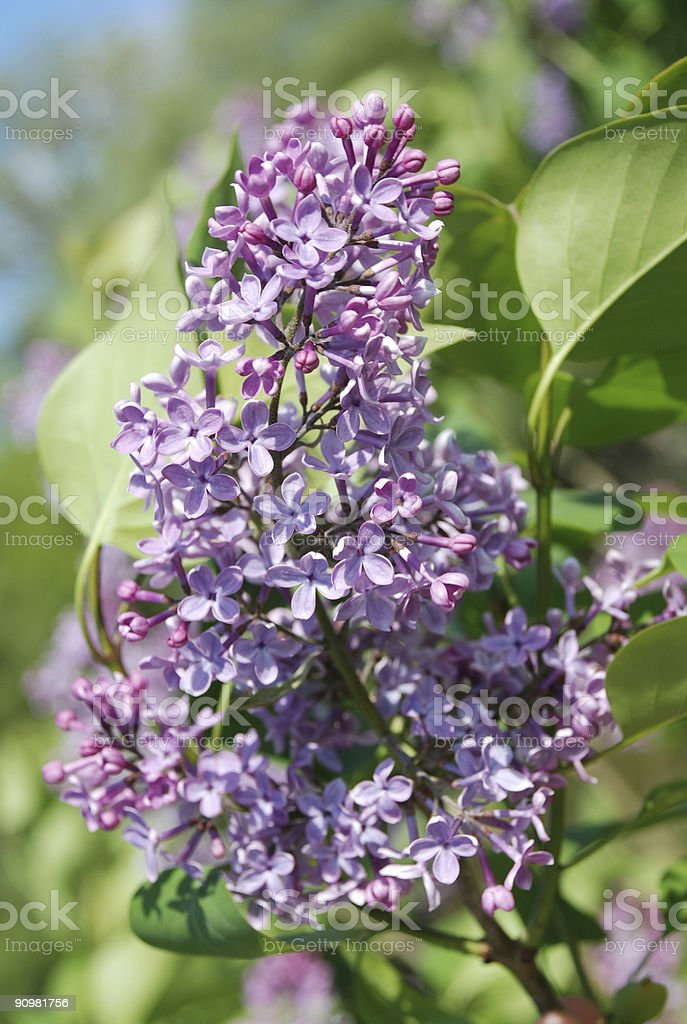 Blossoming lilac flower royalty-free stock photo