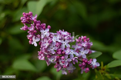 Beautiful partly blossoming lilac syringa in spring with vilolet flowers