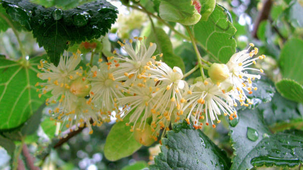 Blossoming Linden flowers. stock photo