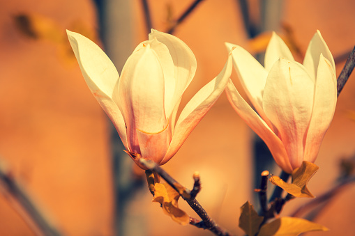 Blossoming Magnolia Flowers Springtime Natural Flowers Background
