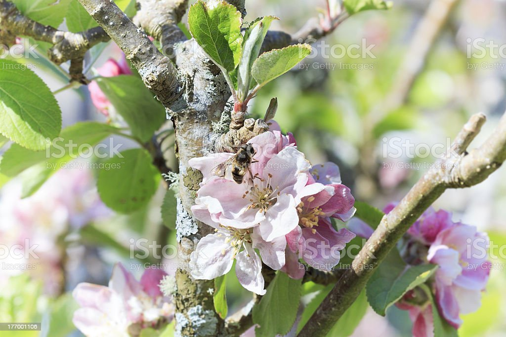 Blossoming of apple tree. stock photo