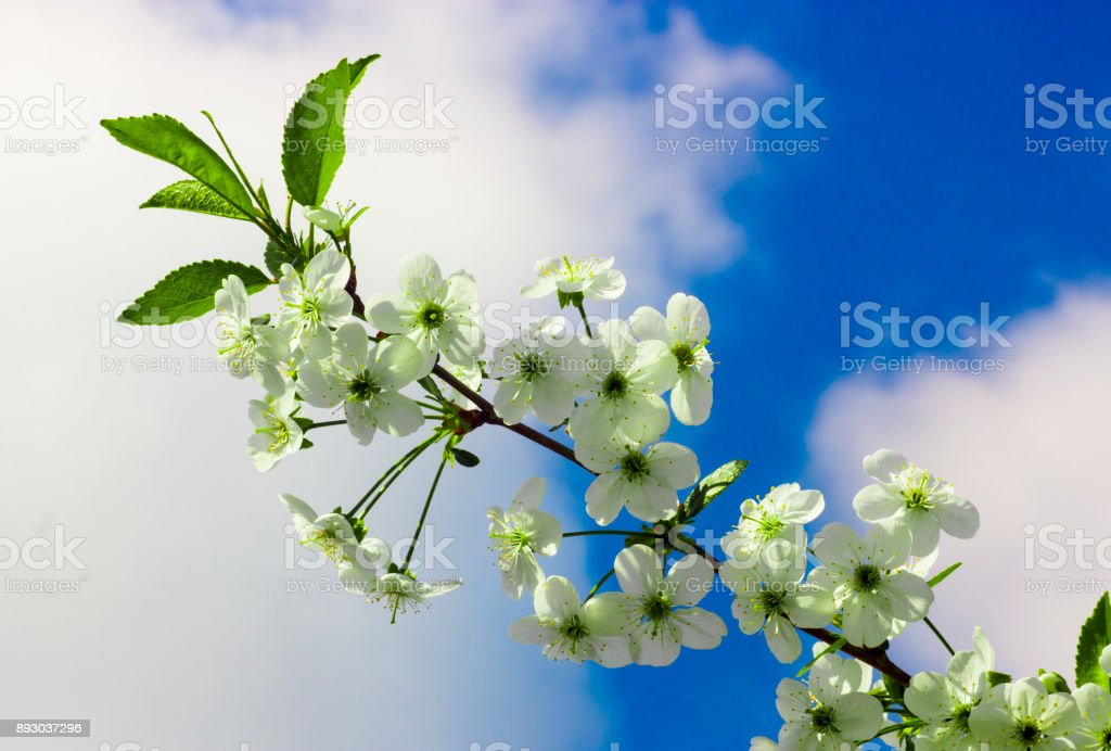 Blossoming of cherry flowers in spring time stock photo