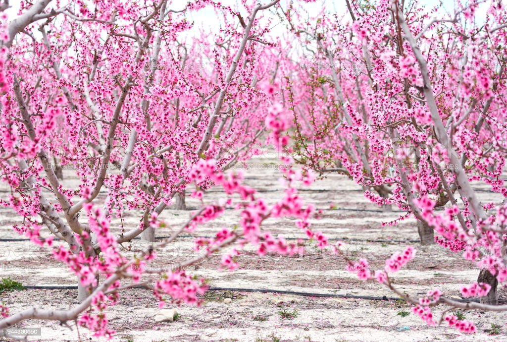 Blossoming of fruit trees in Cieza. Spain stock photo