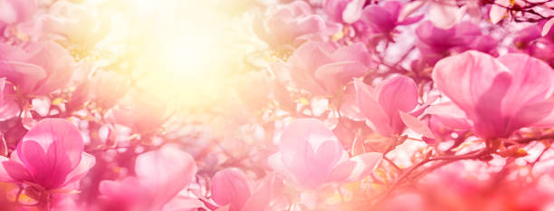 blossoming of magnolia flowers in sun light backlit, shallow depth. soft vintage toned. greeting card template. nature panorama background - magnolia стоковые фото и изображения