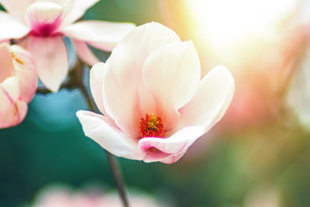 blossoming of magnolia white flowers in spring time. - magnolia стоковые фото и изображения