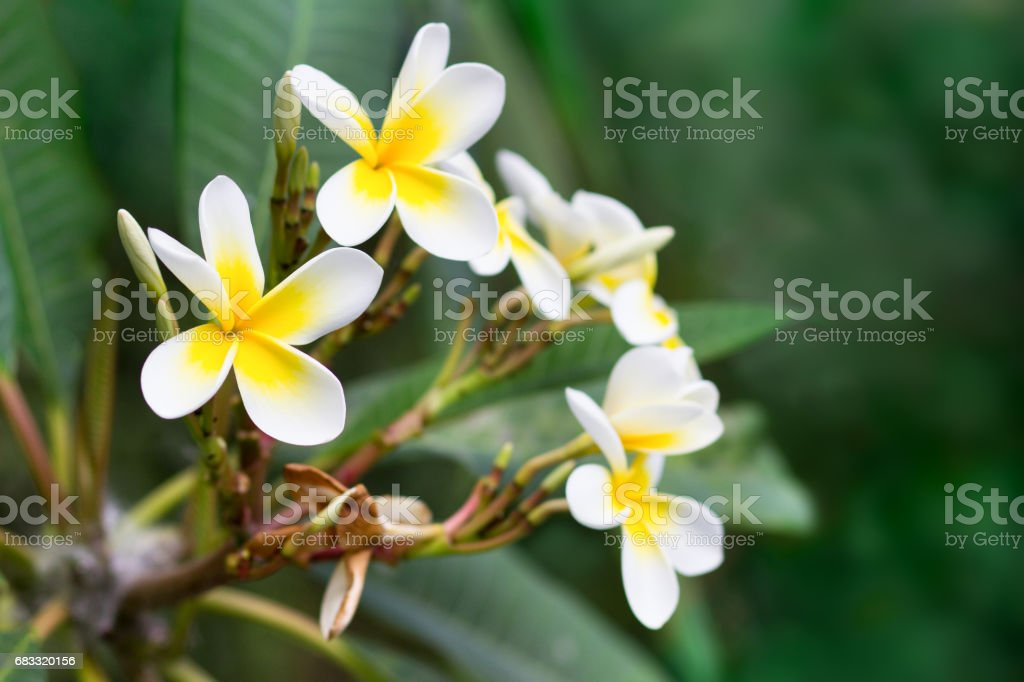 Blossoming of mango tree mango flower consists of 5 petals of white blossoming of mango tree mango flower consists of 5 petals of white on the edges mightylinksfo