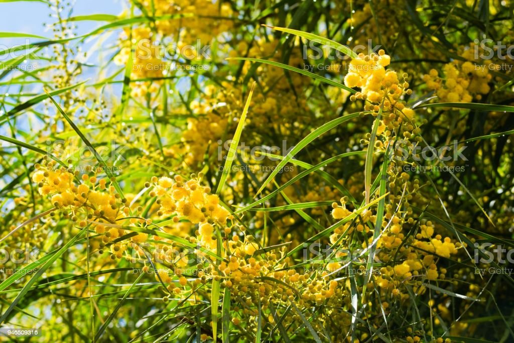 Blossoming of mimosa tree (Acacia pycnantha,  golden wattle) close up in spring, bright yellow flowers, coojong, golden wreath wattle, orange wattle, blue-leafed wattle, acacia saligna stock photo