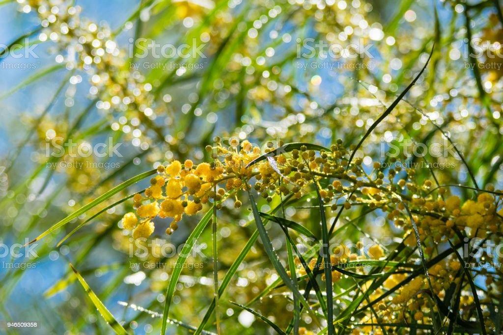 Floraison Darbre De Mimosa Fermer Vers Le Haut Au Printemps Fleurs