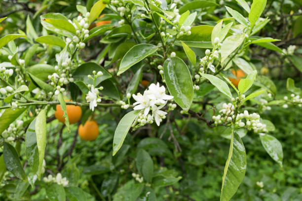 Blossoming orange tree in spring after rain stock photo