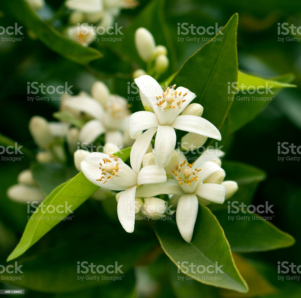 Blossoming orange tree stock photo