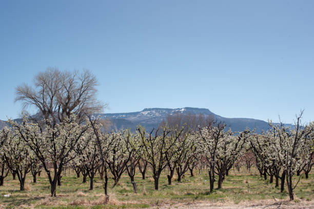 Blossoming orchard in western Colorado stock photo