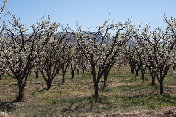 Blossoming orchard stock photo