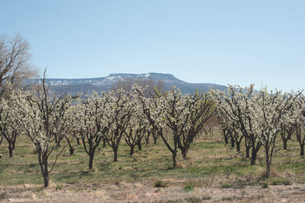 Blossoming orchard with the Grand Mesa stock photo
