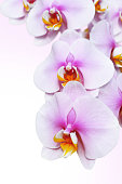 blossoming orchid flower, isolate on white background.
