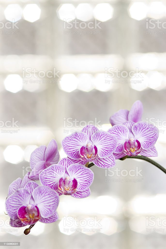 Blossoming orchid flowers with sunny light in glass windows royalty-free stock photo