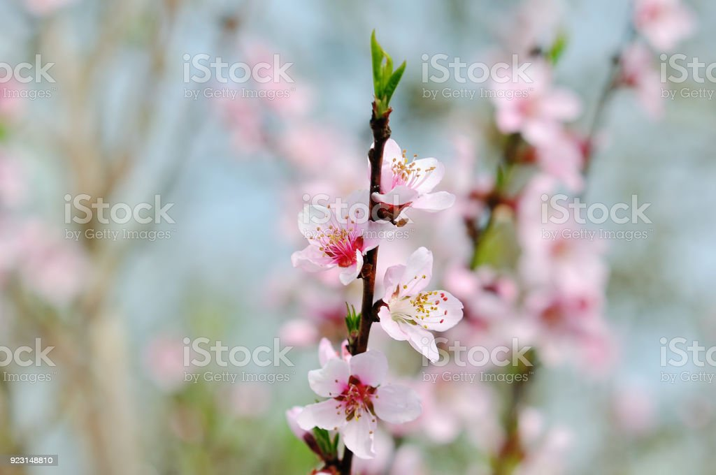 Blossoming peach tree branches stock photo