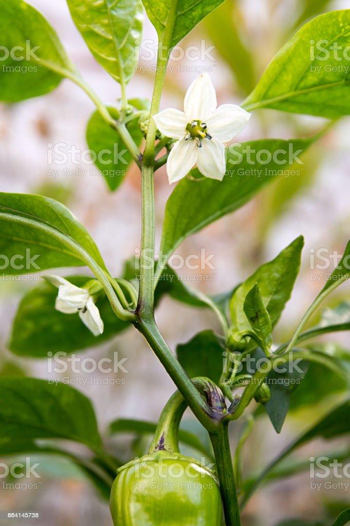 Blossoming pepper. White flowers on pepper plant. Vegetable gardening royalty-free stock photo