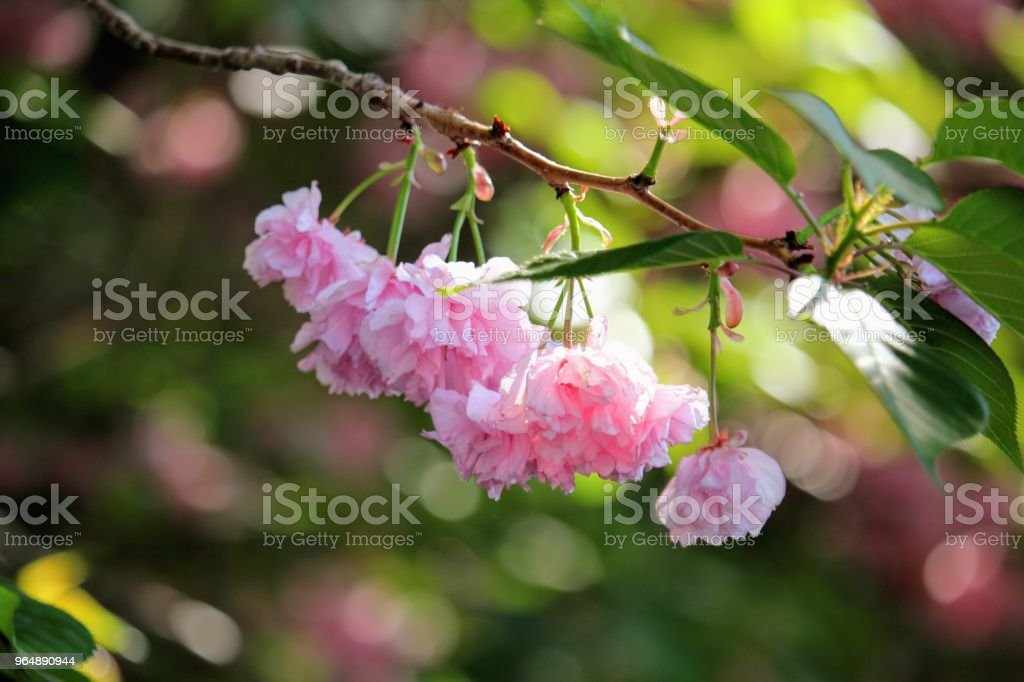 Blossoming pink flower royalty-free stock photo