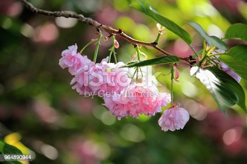 Blossoming Pink Flower Stock Photo & More Pictures of Backgrounds