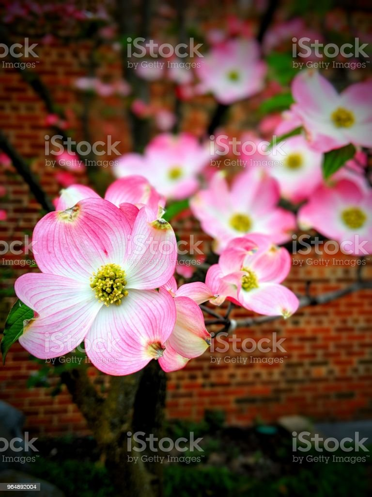 Blossoming pink flower - Royalty-free Backgrounds Stock Photo