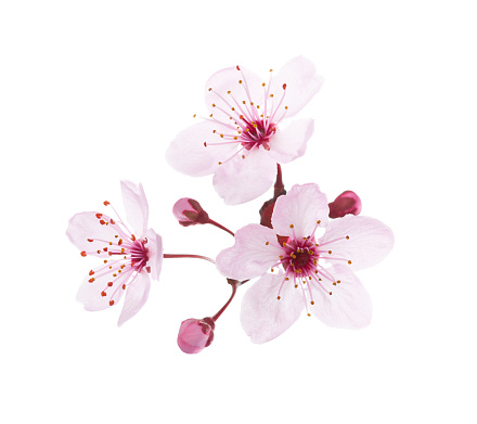 Blossoming pink flowers and buds of Plum isolated on white background. Close-up view.