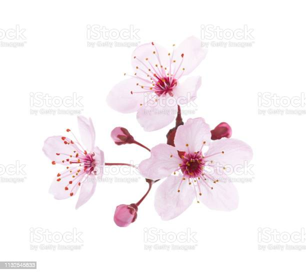 Blossoming pink flowers and buds of plum isolated on white background picture id1132545833?b=1&k=6&m=1132545833&s=612x612&h=lxgo0bxpdas fknzoyykppvgyi2es1o gle o qurqm=