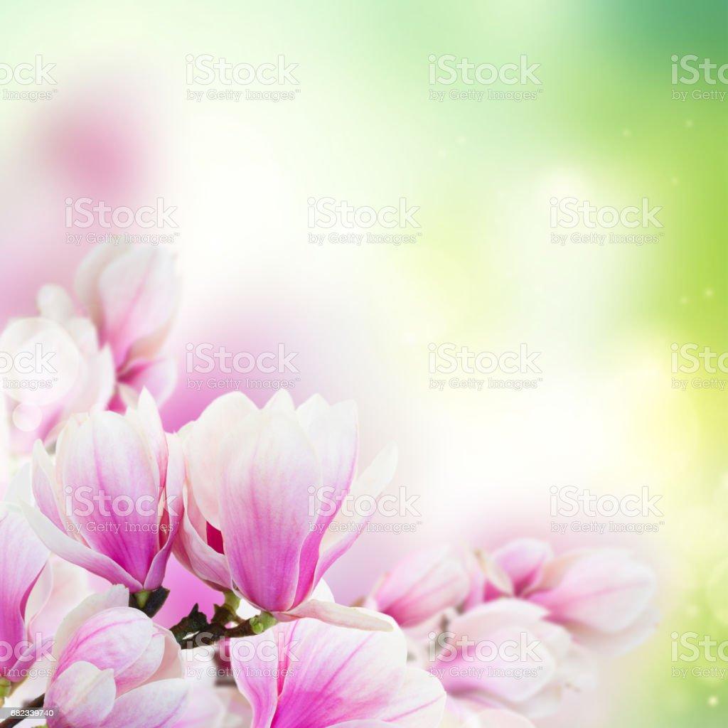 Blossoming pink magnolia Flowers royaltyfri bildbanksbilder