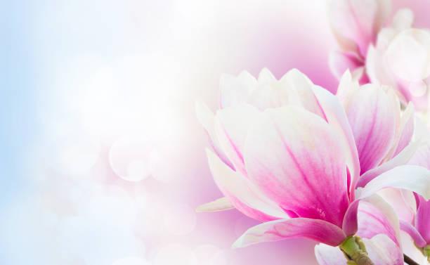 blossoming pink magnolia flowers - magnolia стоковые фото и изображения