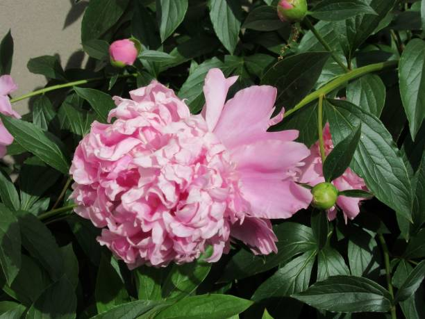 Blossoming pink peony with lush green leaves stock photo