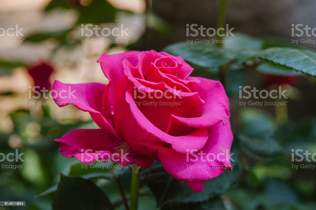 Blossoming pink rose stock photo