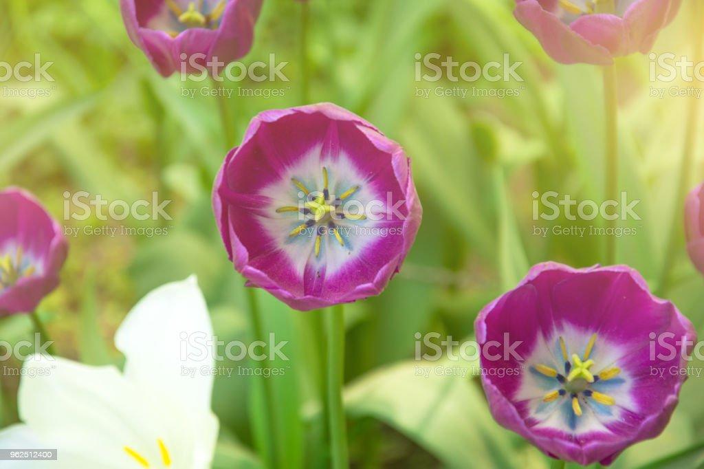 Tulipa flor rosa fechar com uma luz do sol. - Foto de stock de Amarelo royalty-free