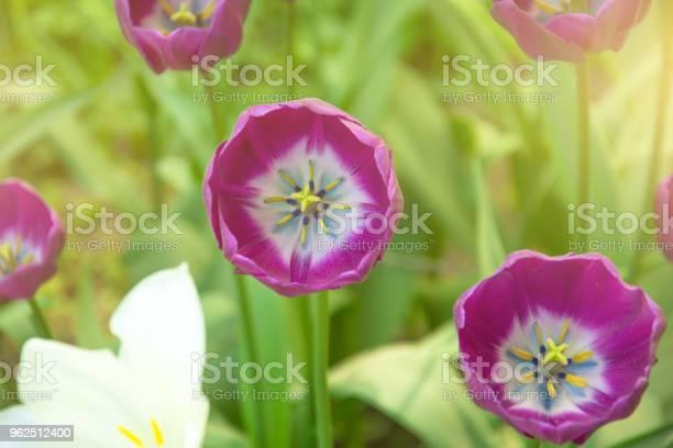 Foto de Tulipa Flor Rosa Fechar Com Uma Luz Do Sol e mais fotos de stock de Amarelo
