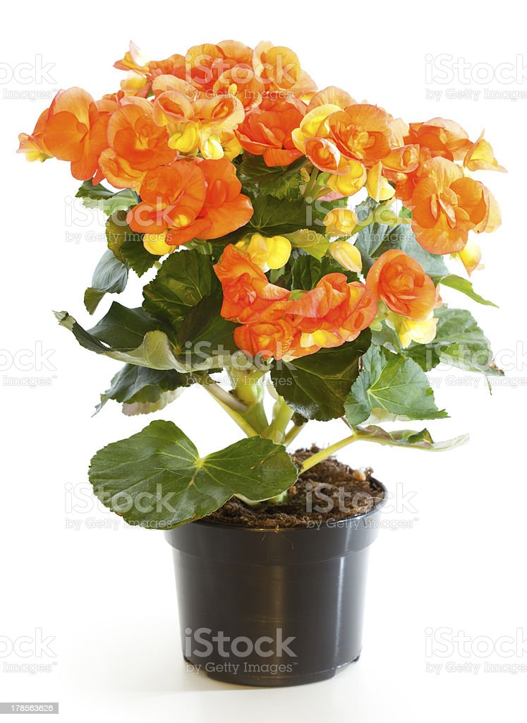 Blossoming plant of begonia in flowerpot isolated on white. stock photo