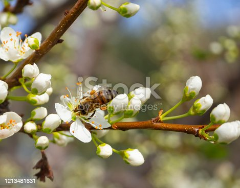 Blossoming plum tree flowers and bee on a Sunny spring day in Greece
