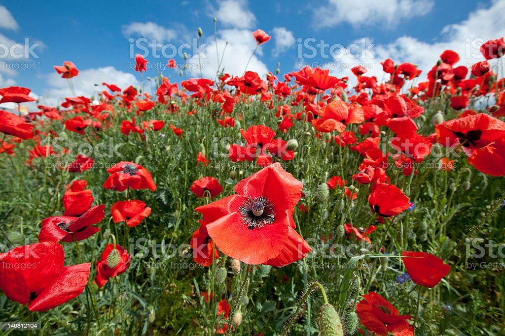 Blossoming poppy field royalty-free stock photo