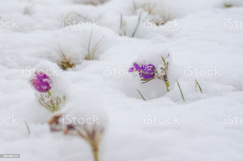 blossoming purple pasque flowers pulsatilla grandis under snow in the meadow spring cloudy afternoon - Royalty-free Blossom Stock Photo