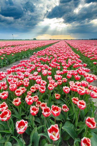 Blossoming red and pink tulips in a field  during a stormy spring afternoon stock photo