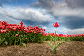 Blossoming red and pink tulips in a field  during a stormy spring afternoon with incoming thunderstorm clouds over the horizon