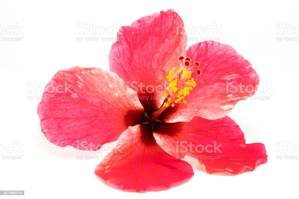 Blossoming Red Flower Of Tree Like Hibiscus With Two Petals On