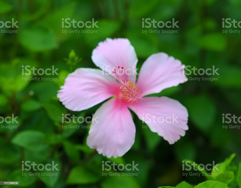 Blossoming red flower of treelike Hibiscus, closeup stock photo
