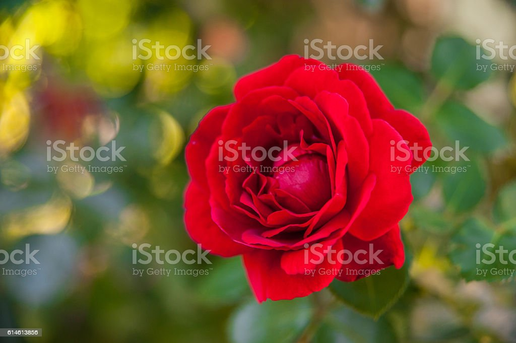 Blossoming red rose stock photo