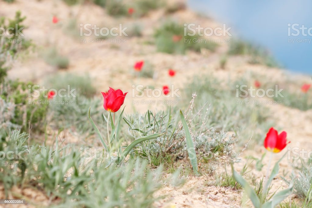 blossoming red tulips (Tulipa gesneriana, Tulipa suaveolens, Tulipa schrenkii) on the mountainside Bogdo in desert.   small DoF focus put only flower in center stock photo