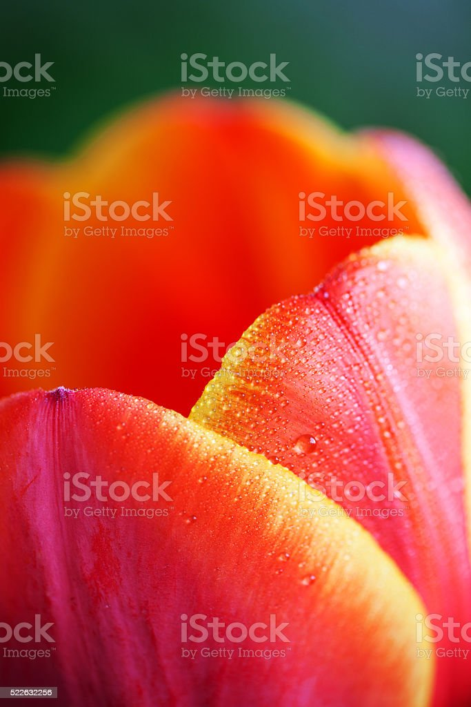 Blossoming red tulips with yellow edges stock photo